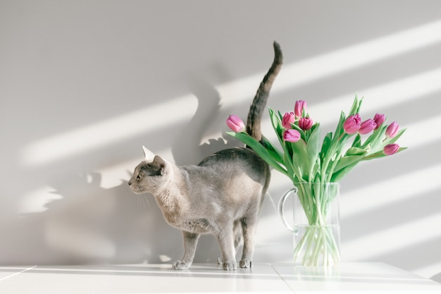 Entzückendes graues kätzchen, das auf tisch mit blumenstrauß von tulpen in glasvase geht.