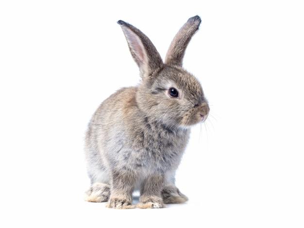 Entzückendes graues kaninchen des babys, das lokalisiert auf weißer wand steht