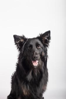 Entzückendes porträt von border collie mischen schwarze farbe, gesund und glücklich, im fotostudio auf weißem hintergrund.