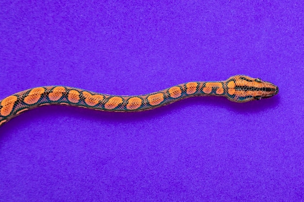 Epicrates cenchria ist eine in mittel- und südamerika endemische boa-art