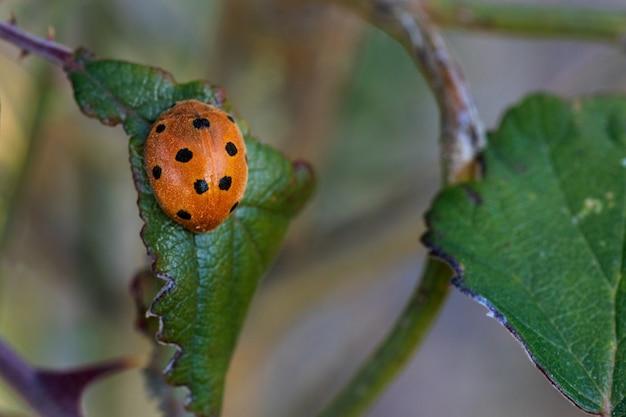 Epilachna argus. käfer in seiner natürlichen umgebung.