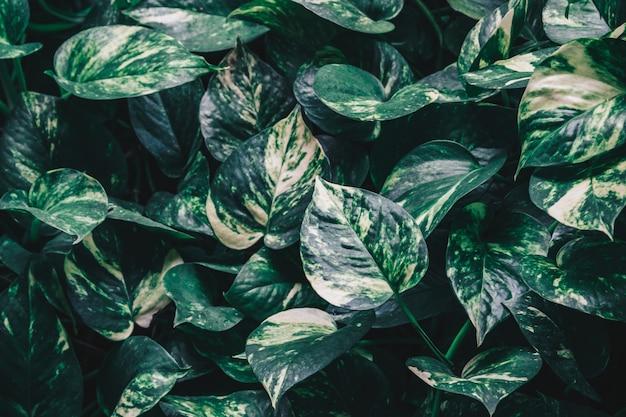 Epipremnum aureum oder goldene pothos-pflanze