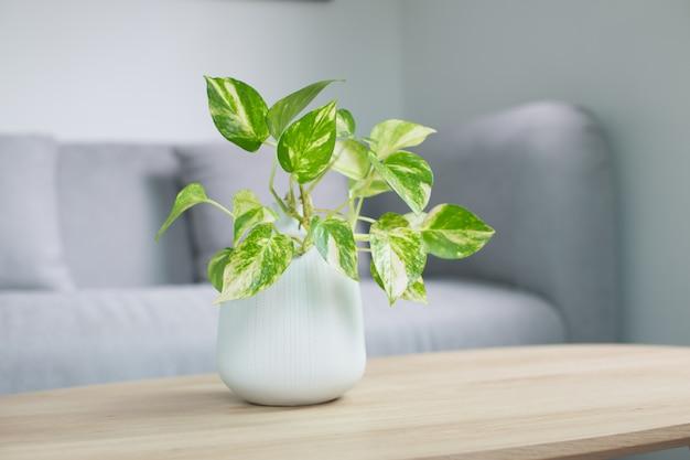 Epipremnum aureum pflanze oder goldene pothos auf holztisch im wohnzimmer.