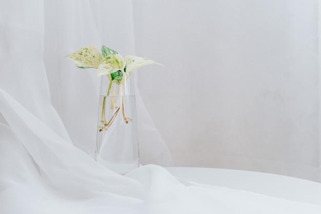 Epipremnum marmorkönigin pflanze in glaswasser für inneneinrichtung, weiß mit kopienraum. wasservermehrung für zimmerpflanzen.