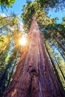 Epischer sequoia platz