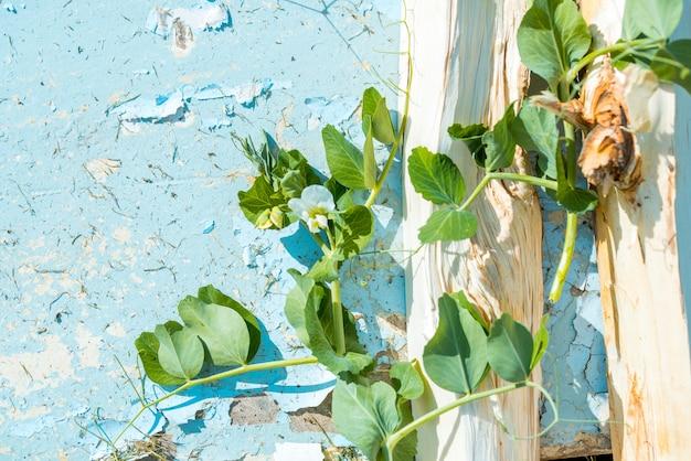 Erbsenblumen auf einem blauen weinlesehintergrund. rissige farbe. pflanzenschmerle fliegt ein holzstamm