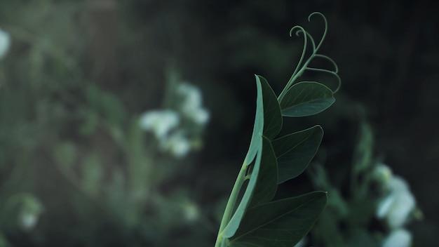 Erbsenpflanze rollte am ende
