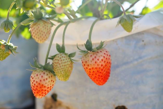 Erdbeerbeeren frisch auf baum im garten.