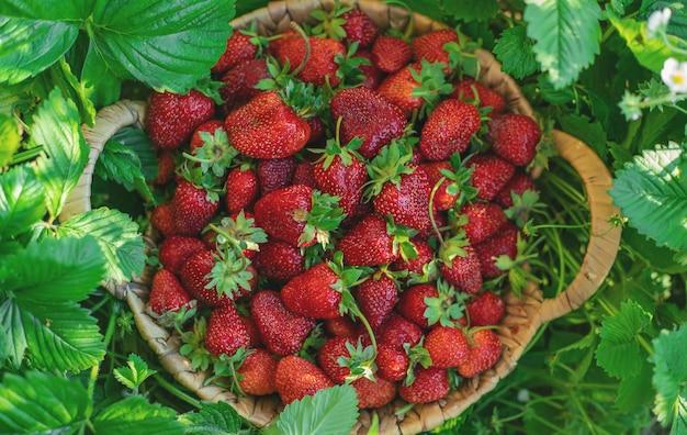 Erdbeerbeeren in einem korb im gemüsegarten