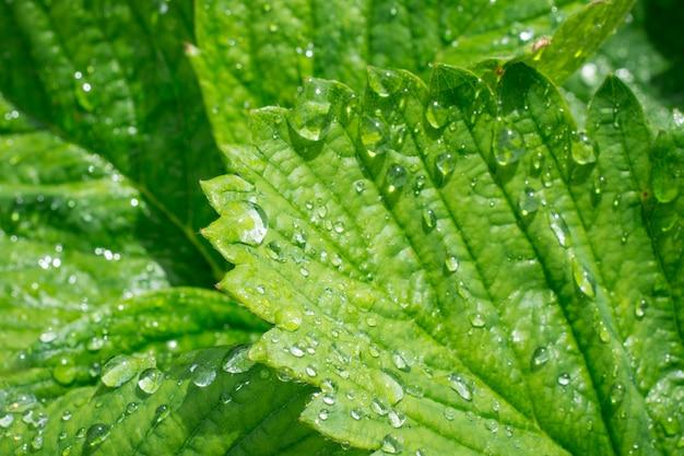 Erdbeerblätter mit wassertropfen nach dem regen