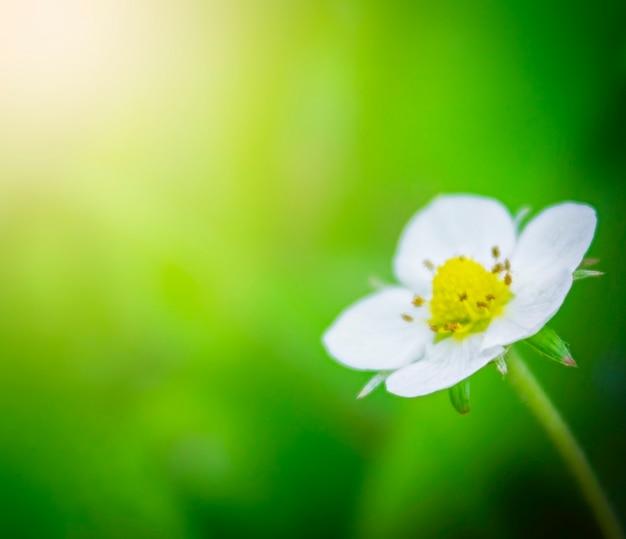 Erdbeerblume unter den sonnenstrahlen nahaufnahme auf grünem hintergrund