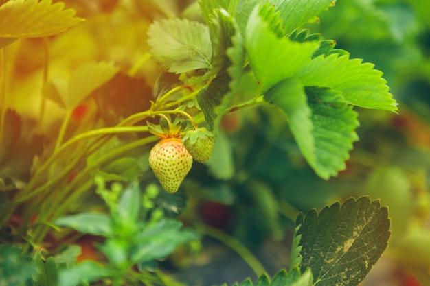 Erdbeerbüsche auf erdbeerfeld in einem bauernhof