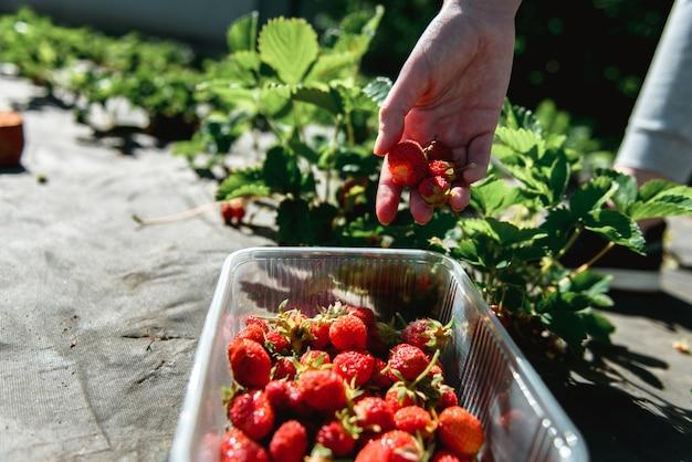 Erdbeere archivierte draußen im garten während der sonnenuntergangfrau han