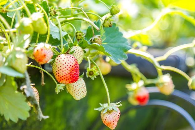Erdbeere im garten