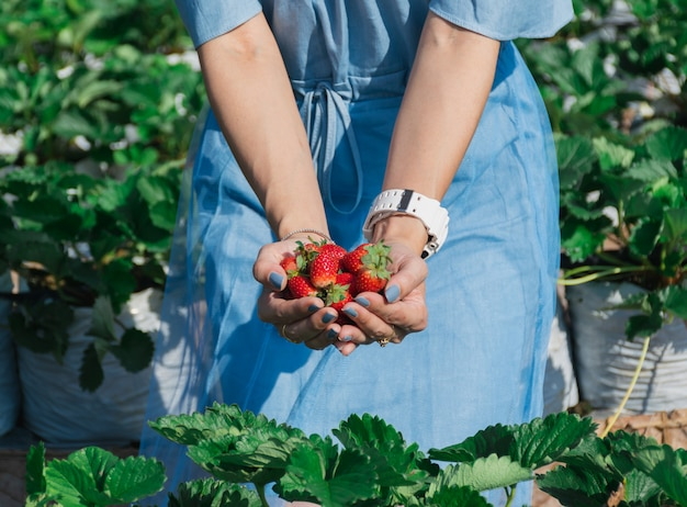 Erdbeere in der hand eines obstbauers.