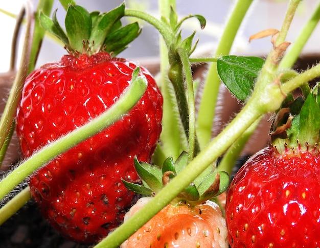 Erdbeeren, die in einem städtischen garten wachsen