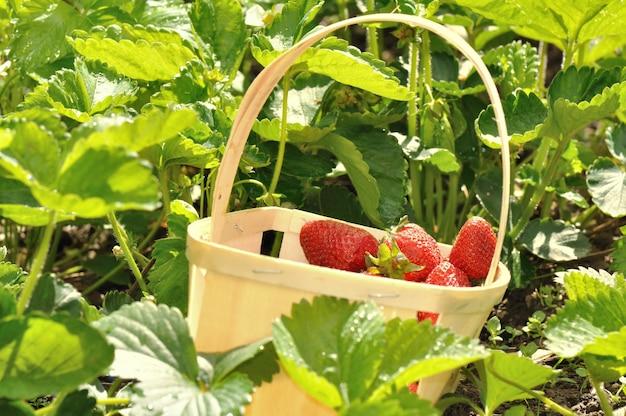 Erdbeeren geerntet
