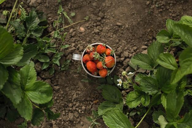 Erdbeeren in einer blechschale stehen im garten auf dem boden zwischen den erdbeerblättern.