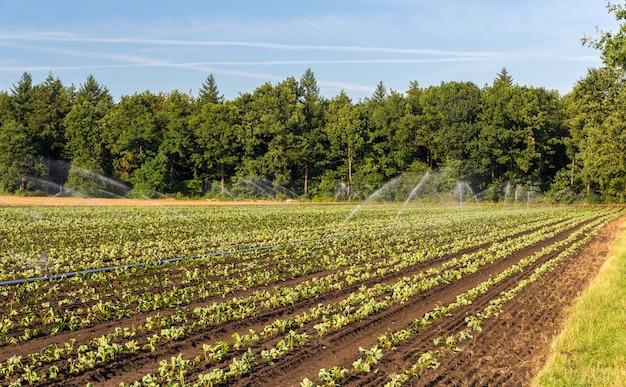 Erdbeerfeld mit bewässerung in deutschland