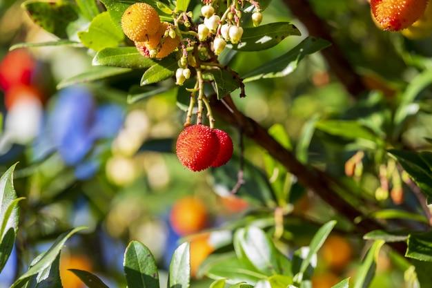 Erdbeerfrucht oder madrono vom arbutus unedo