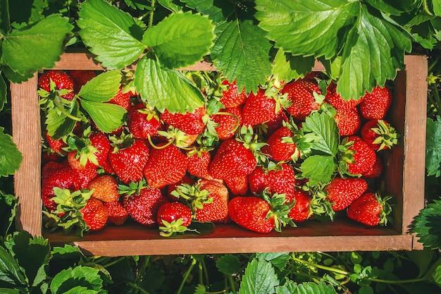 Erdbeerhaus vom garten. tiefenschärfe.