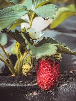 Erdbeerpflanzen wachsen auf schwarzem spinnvlies, mulchvlies. erdbeerbusch wächst im garten. nahaufnahme.
