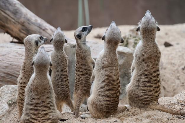 Erdmännchen mit sandplatz