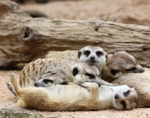 Erdmännchen schlafen