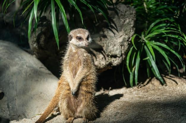 Erdmännchen steht. es ist ein skeptisches tier. es muss beachtet werden.