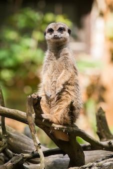 Erdmännchen, suricata suricatta, sitzt auf einem baum