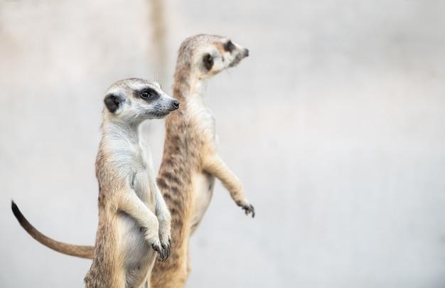Erdmännchen suricata suricatta