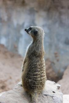 Erdmännchen (surikate) sitzt im allgemeinen park