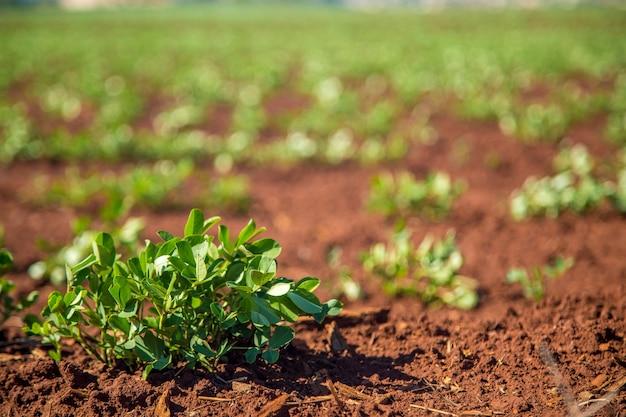 Erdnuss-plantage
