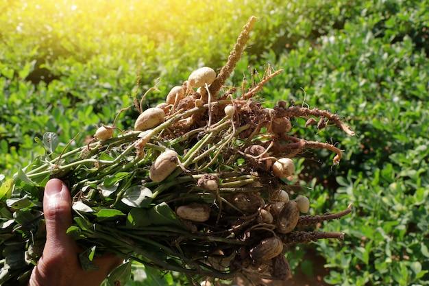 Erdnusspflanzen mit wurzeln.