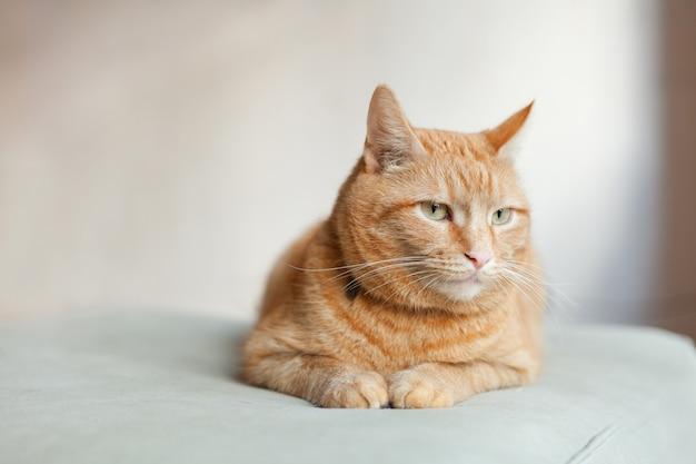 Erfreute orange ingwerkatze, die auf dem stuhl sitzt und sich zu hause ausruht. platz kopieren. lustige rote katze in gemütlicher wohnatmosphäre. liegende tabby-ingwer-katze. suchende ingwerkatze, die auf dem stuhl sitzt.