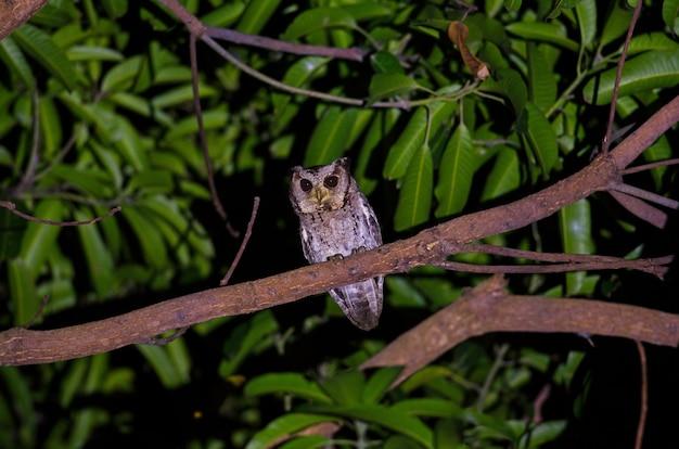 Ergatterte scops-eule (otus bakkamoena) auf baum nachts