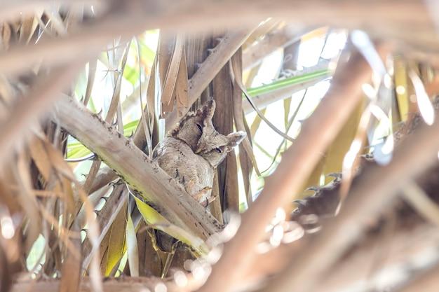 Ergatterte scops eule (otus lettia) betrachtend in der natur