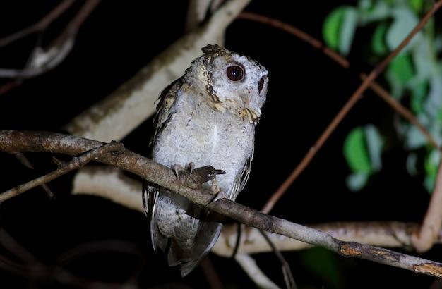 Ergatterte scops eule otus sagittatus schöne vögel von thailand