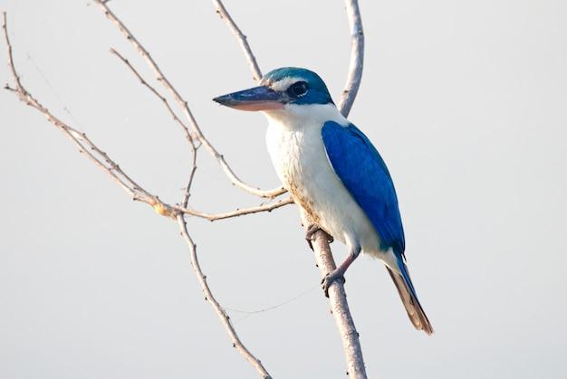 Ergatterter eisvogel todiramphus-chloris schöne vögel von thailand