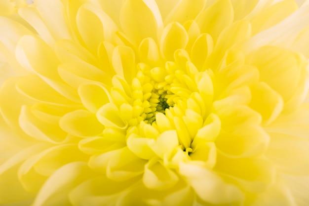 Erhöhte ansicht der blühenden gerberablume