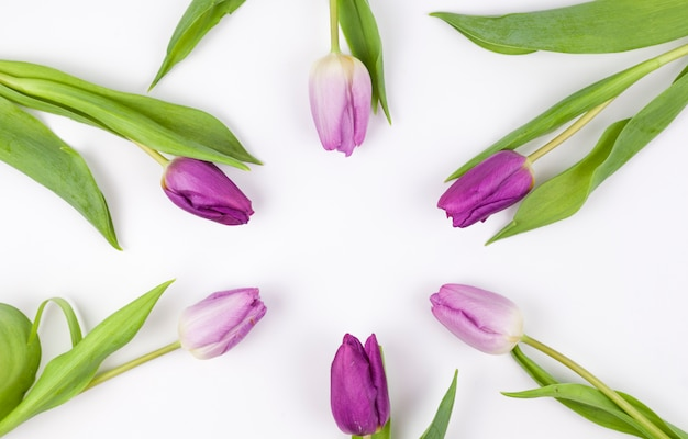 Erhöhte ansicht von purpurroten tulpen vereinbarte auf weißem hintergrund