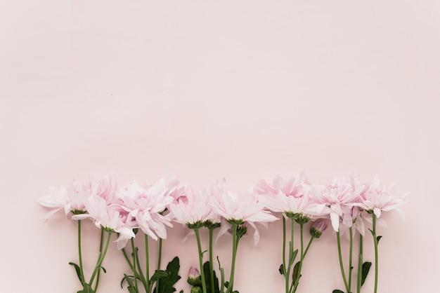 Erhöhte ansicht von rosa blumen auf farbigem hintergrund