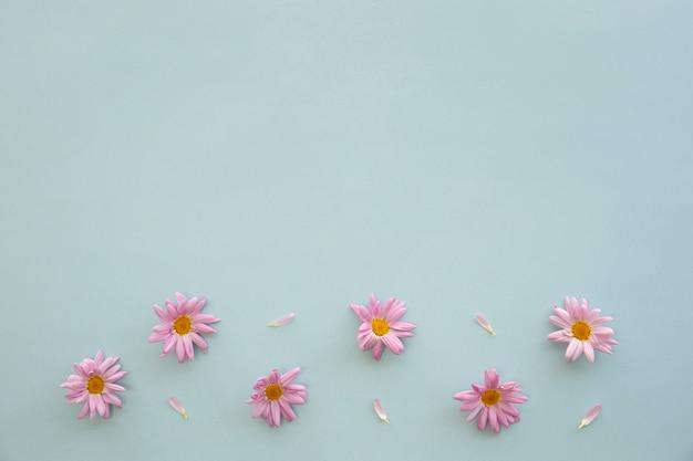 Erhöhte ansicht von rosa gänseblümchenblumen und -blumenblättern auf blauem hintergrund