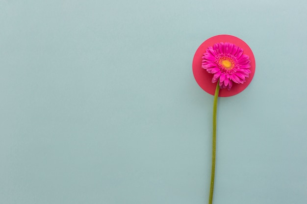 Erhöhte ansicht von rosa gerbera auf papier der runden form gegen grauen hintergrund