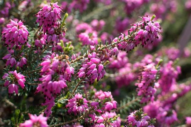 Erica carnea oder myretoun rubinrosa blumen im frühlingsgarten