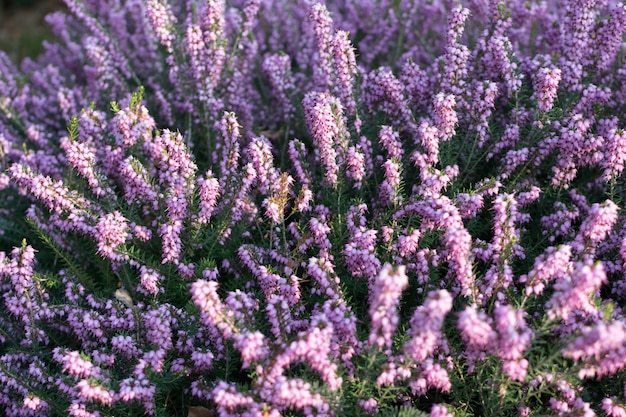 Erica carnea oder myretoun ruby violet blüht im frühlingsgarten
