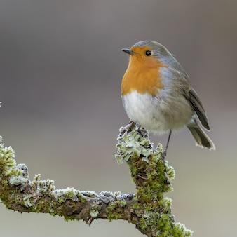 Erithacus rubecula vogel thront auf einem moosigen ast