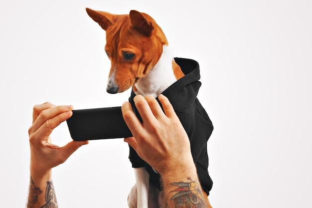 Ernsthafter brauner und weißer basenji hund im schwarzen sweatshirt sieht einen film auf einem smartphone, das von den händen des mannes gehalten wird