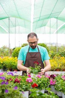 Ernsthafter gärtner in der schürze, die geranien im gewächshaus anbaut