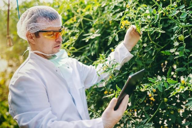 Ernsthafter kaukasischer wissenschaftler in steriler uniform unter verwendung der tablette und überprüfung des tomatenwachstums im gewächshaus.